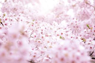 xcherry-blossom_00034.jpg.pagespeed.ic.vXlLRu5OL3.jpg